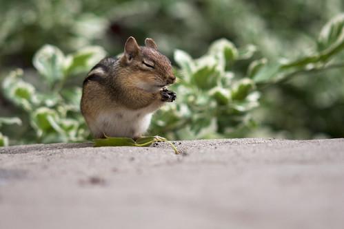 Praying Chipmunk