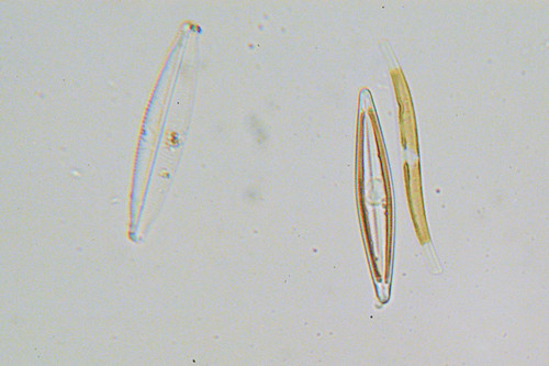 Pine River Diatoms