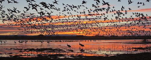 snow newmexico birds sunrise crane goose bosque socorro flightdeck sandhill bosquedelapache sandhillcrane blastoff snowgoose gruscanadensis chencaerulescens jeffdyck explored sanantonito