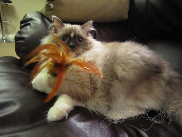 Tyco the Ragdoll Playing with Feathery Toy