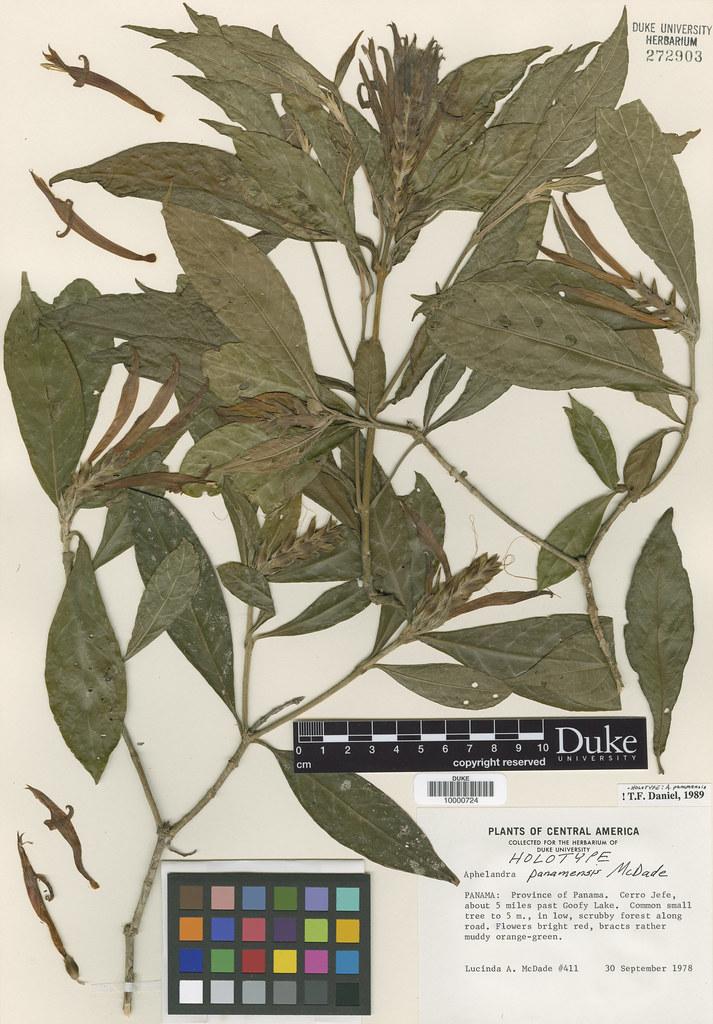 Acanthaceae_Aphelandra panamensis