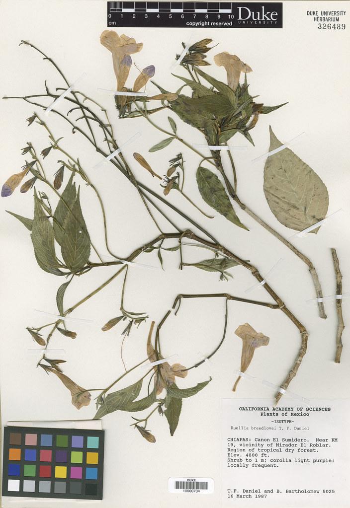 Acanthaceae_Ruellia breedlovei