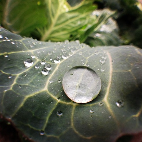 キャベツと雨粒 #raindrops on #cabbage. #fisheye #olloclip