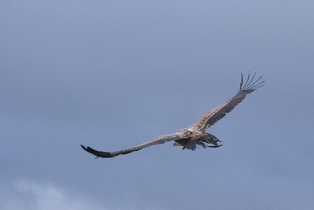 DSC_5423 Vulture