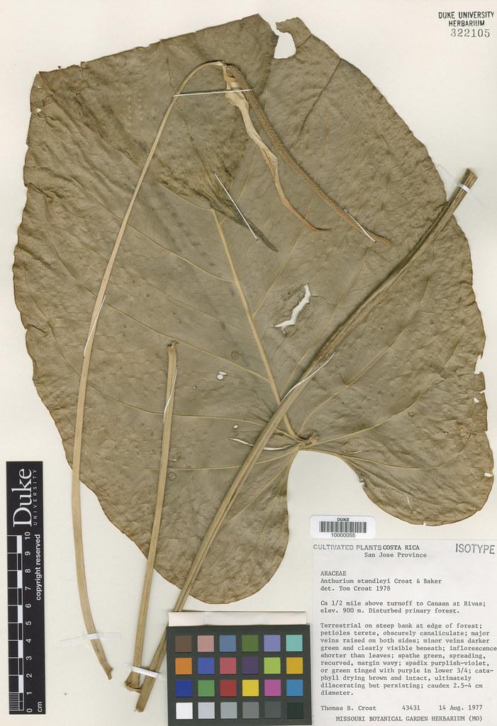 Araceae_Anthrium standleyi