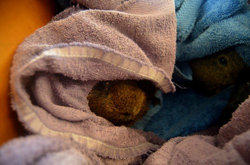 hiding in the towels - Soot and Misty1