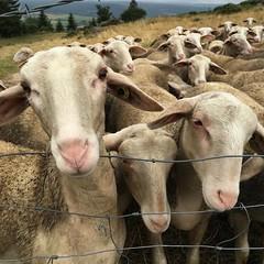 #mouton #promenade #randonnée #lozère #mignon #beau #choux