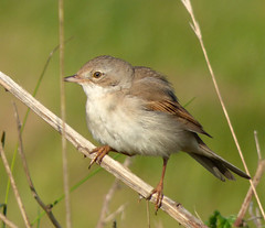 HolderWhitethroat