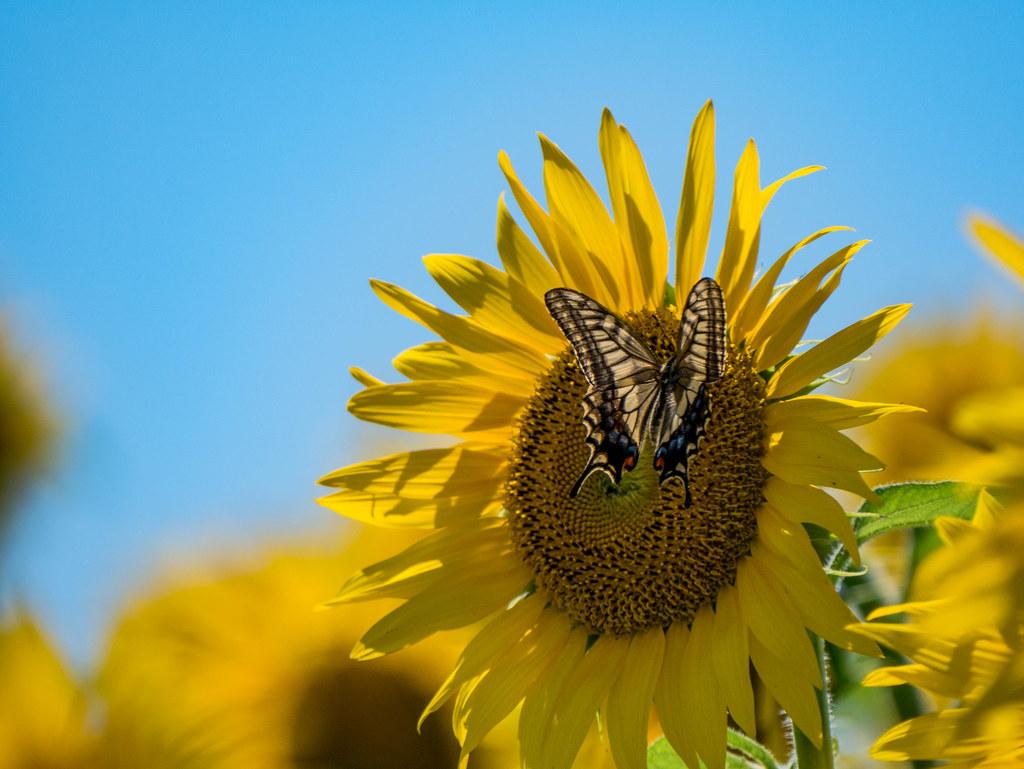 ひまわりの蜜を吸うアゲハチョウ