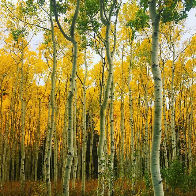 see ya later, aspen! 💛 the color yellow is burned into my retinas after a week traipsing through these trees.