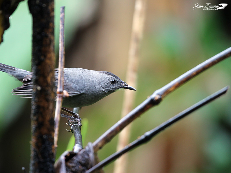 Dumetella carolinensis (Gray Catbird)