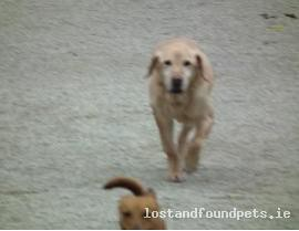 Mon, Oct 1st, 2012 Lost Male Dog - Lost Gundog, Yellow (golden) Labrador Out Shooting, Retrived Pheasant Went Down Ditch To Cross Back And Disappeared. Spent Hours Looking But Unable To Find. Friend As Well As Working Dog Highly Valued, Carnew, Wicklow