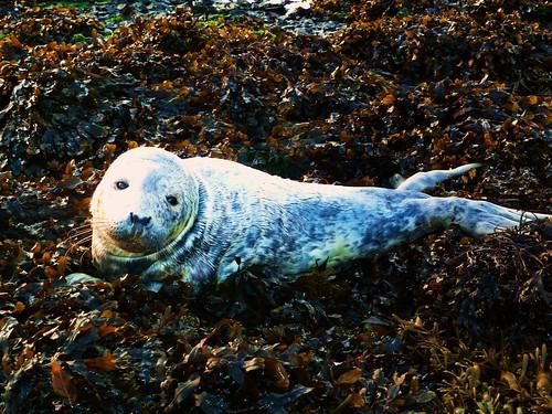 Seal Pup at Corran
