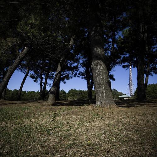 Costal Japanese Pinetrees, Kasai RInkai Park