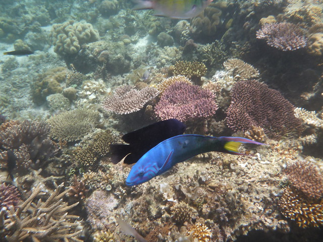 跑來看我的魚包含了這隻顏色絢麗的魚