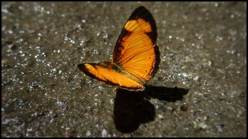 yellow-lined-butterfly