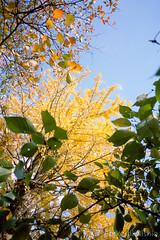 イチョウの木 / Gingko tree