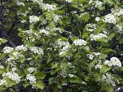 blossom(0.0), guelder rose(0.0), hydrangea serrata(0.0), lilac(0.0), hydrangea(1.0), shrub(1.0), flower(1.0), branch(1.0), leaf(1.0), tree(1.0), plant(1.0), flora(1.0), produce(1.0),
