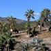 Cows and Palms near Guadalupe Hidalgo, Región Mixteca, Oaxaca, Mexico por Lon&Queta
