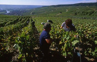 Vendimia en Champagne-Ardennes.