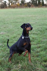 dog breed, animal, dog, german pinscher, manchester terrier, dobermann, pet, jagdterrier, guard dog, pinscher, toy manchester terrier, austrian black and tan hound, polish hunting dog, carnivoran,