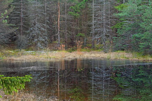 autumn trees forest reflections pond hiking pennsylvania creativecommons coniferous diseased endlessmountains loyalsockstateforest sullivanmountain lycomingcounty mcintyrewildarea cytosporacanker