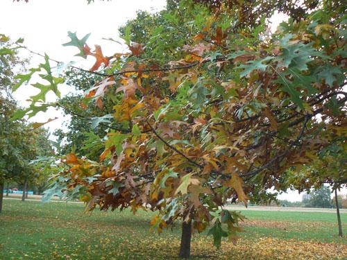 arbre hyde park automne.jpg