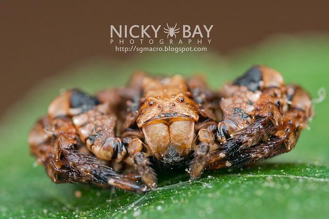 Bird Dung Crab Spider (Phrynarachne sp.) - DSC_8586