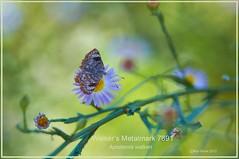 Walker's Metalmark Butterfly Resaca de la Palma, Brownsville, Texas Butterfly photography by Ron Birrell; DSC_7891