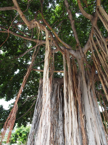 Waikiki Beach - Banyan Tree