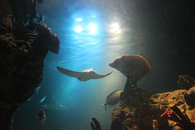 stingray in aquarium
