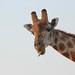 Einstein giraffe