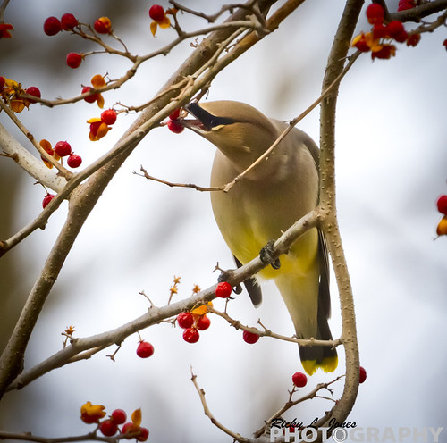 Cedar Waxwing in Grant Park by Ricky L. Jones Photography