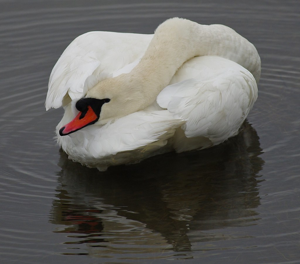 Slide Show Of Some Of My Bird Photos >> Mute Swan Taking A Break See My Birds Set And Slide Show Flickr