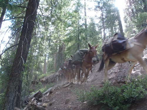 Mules on the Shasta-Trinity National Forest move equipment from a back country California Conservation Corp camp.