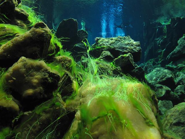 silfra rift iceland thingvellier national park snorkelling algae