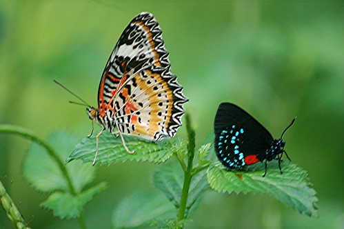 A rare combination! Two colorful butterflies sit together on a Porterweed... a Leopard Lace Wing and an iridescent blue Atala! by jungle mama