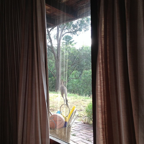 Kangaroo just peeked in my bedroom window! Managed to snap him as he loped off. Heart still racing!