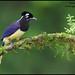 Plush-crested Jay (Cyanocorax chrysops) by Glenn Bartley - www.glennbartley.com