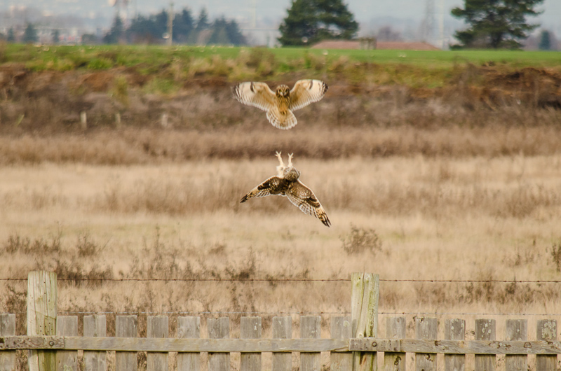 Short-eared Owl mating perhaps