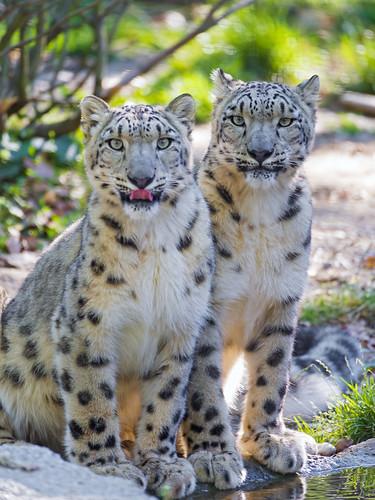 [フリー画像素材] 動物 (哺乳類), 豹・ヒョウ, 雪豹・ユキヒョウ ID:201212191000