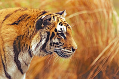 [Free Images] Animals (Mammals), Tigers ID:201212211000