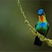 Fiery-throated Hummingbird by Raymond J Barlow