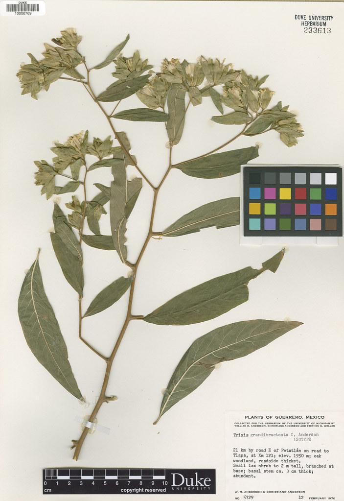 Asteraceae_Trixis grandibreata