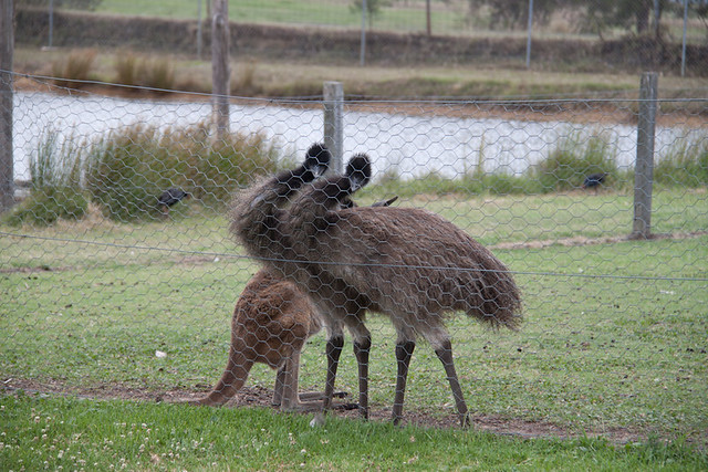 the bitey emus