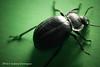 Escarabajo Carabidae