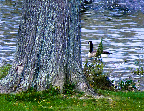 new york usa tree river waterfront riverside state riverfront waterfowl hudsonrivervalley riverrocks waterbirds thegalaxy abigfave 845areacode riverfrontducks