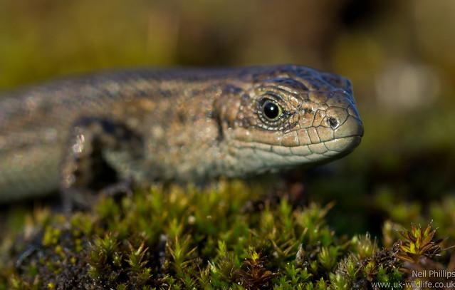common lizard juvenile Zooteca vivipara 2