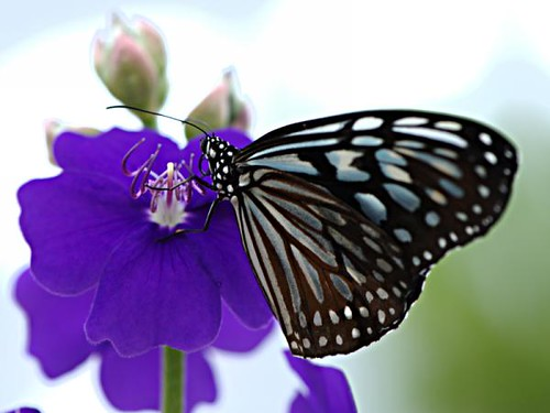 butterfly-on-a-purple-flower