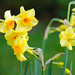 You Get More Than Your Words' Worth With a Host of Golden Daffodils!